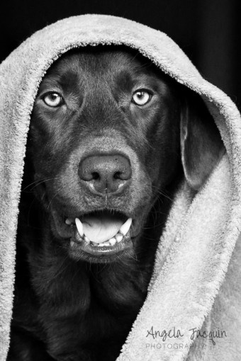 Hanging Out Chocolate Lab - Angela Jacquin Photography #dogphotography #petphotographer
