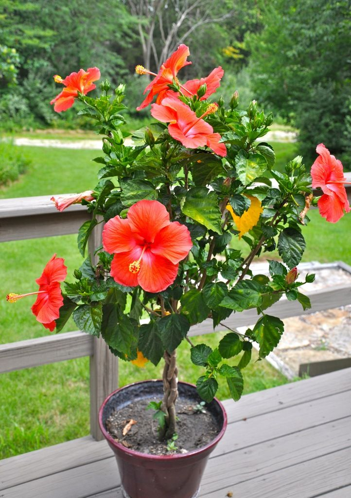 These Hibiscus trees are doing so well in the heat...continually blooming (as long as they are watered daily).  We have a great price on our braided style!!  Come in and take a look!!