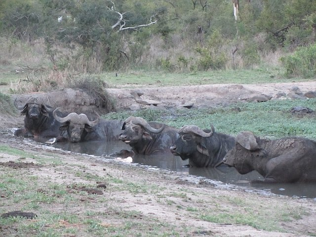 Old male buffalo.  Just chillin' in the mud as you often find them.  Ngala Game Reserve, South Africa, Nov 2011