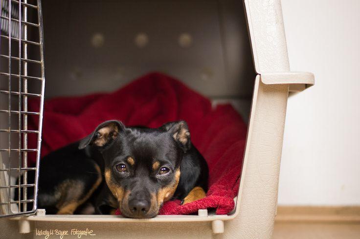 © Melody M. Bayer Fotografie | BUDDY&ME #PinscherBuddy #buddyandme #dogblog #miniaturepinscher #zwergpinscher #training #dog #kennel #hundebox
