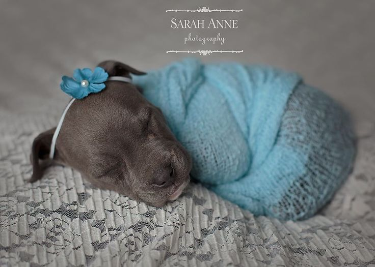 Blue pit bull pup. Newborn puppy photos. Sarah Anne ... Blue Nose Pitbull Newborn Puppies