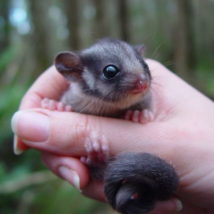 Deep in thick Victorian forest, conservationists and logging advocates are conducting rival counts of the elusive Leadbeater's possum, as they argue over whether the species deserves special protection from the timber industry.