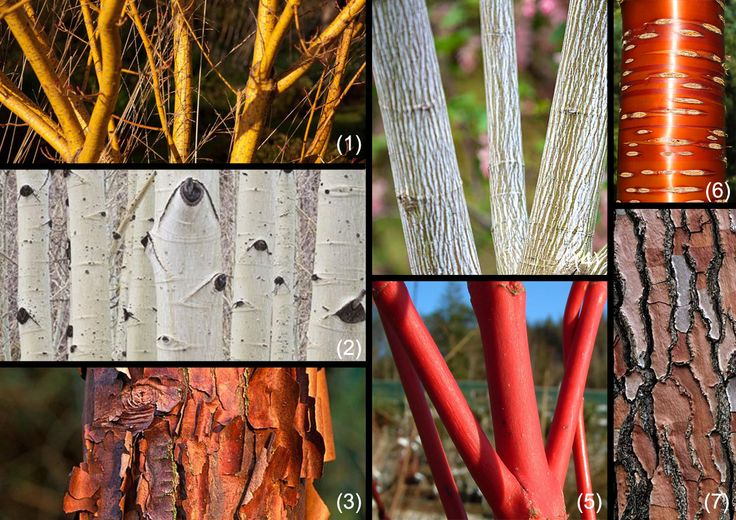 Trees with decorative and coloured bark for winter decoration.  1 - Acer rufinerve Winter Gold, 2 - Betula utilis, 3 - Acer griseum, 4 - Acer capillipes Candy Stripe, 5 - Acer palmatum Senkaki, 6 - Prunus serulata, 7 - Pinus pinaster.