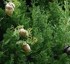Zbavte sa okamžite kŕčových žíl pomocou jedinej perfektnej prírodnej ingrediencie! Poznáme, ktorá zázračná bylinka to je.