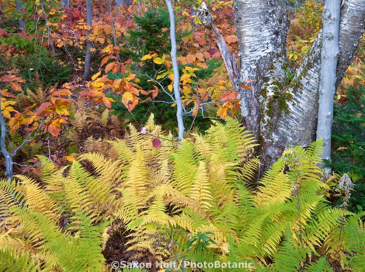Silver bark birch tree with ferns fall color autumn in vermont