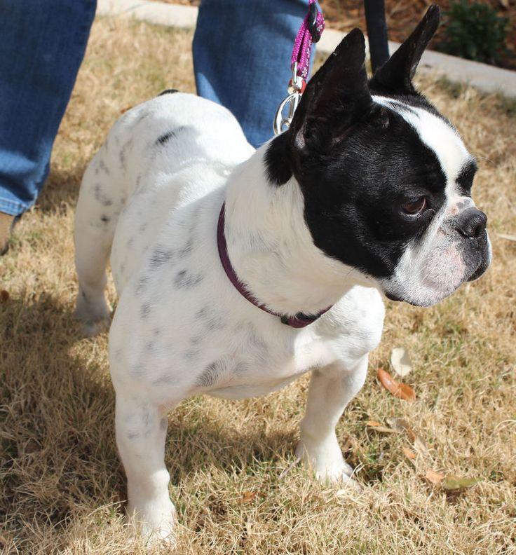 White Boston Terrier Mix french bulldog boston terrier mix ideal pets ...