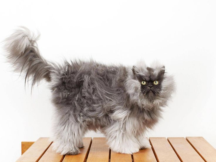 colonel meow has earned his place in the new guinness world records 2014 for having the