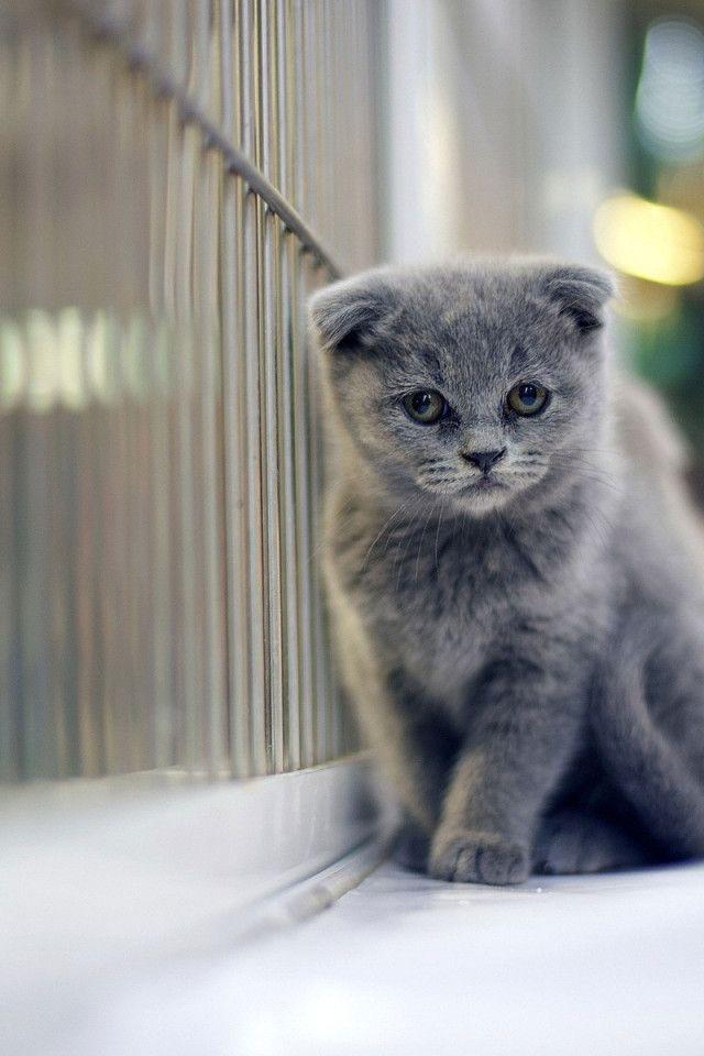 Grey Scottish Fold Cute Kitten - #scottishfold - See more stunning picture of Scottish Fold Cat Breeds at Catsincare.com!