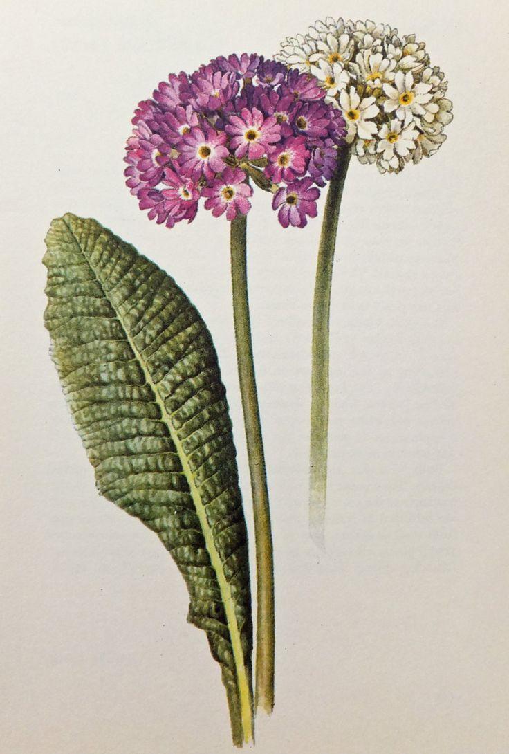 Primula Denticulata Picture. Primrose, Vintage Flower Print. Botanical Picture. Paper Ephemera. Home Decor by PeonyandThistlePaper on Etsy https://www.etsy.com/listing/161085227/primula-denticulata-picture-primrose