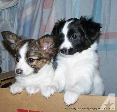 Toy Papillon Puppies | Smart Toy Papillon Puppies for sale in Phelan, California
