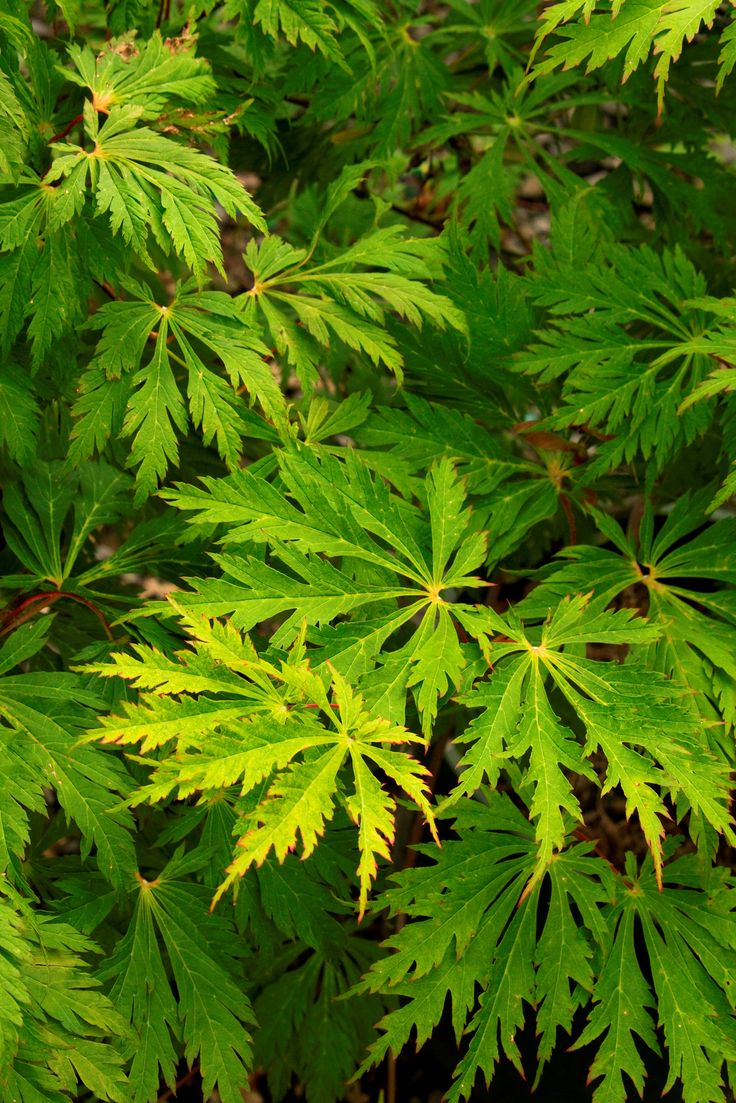 8 best small trees for sunset zone 17 images on pinterest acer