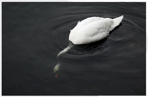 swans: Mère Natural, Beautiful Everywh, Beautiful Animal, Beautiful Second, Madagascan Submarines, Submarines Swan, Latest Posts, Og Natural, Start Posts