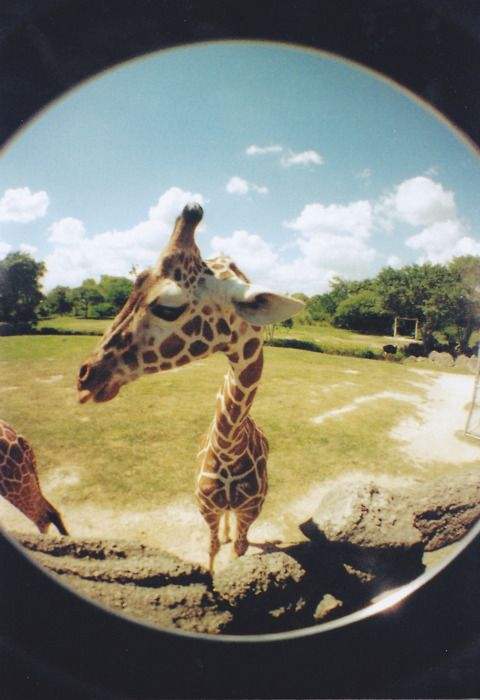fisheye for a giraffe one of the most beautiful creatures in the animal kingdom.