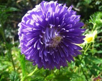 Mezcla de semilla de flor de malva Alcea / por MyFlowerGrounds