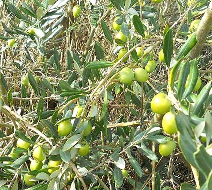 Oregon Olive Trees - Trees for sale