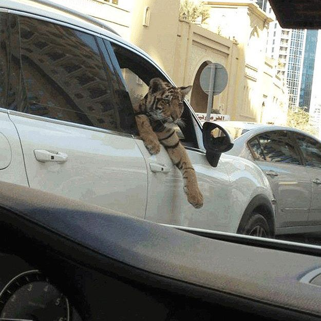 Strange dogs hanging out of windows. | 35 Things You See Everyday In Dubai
