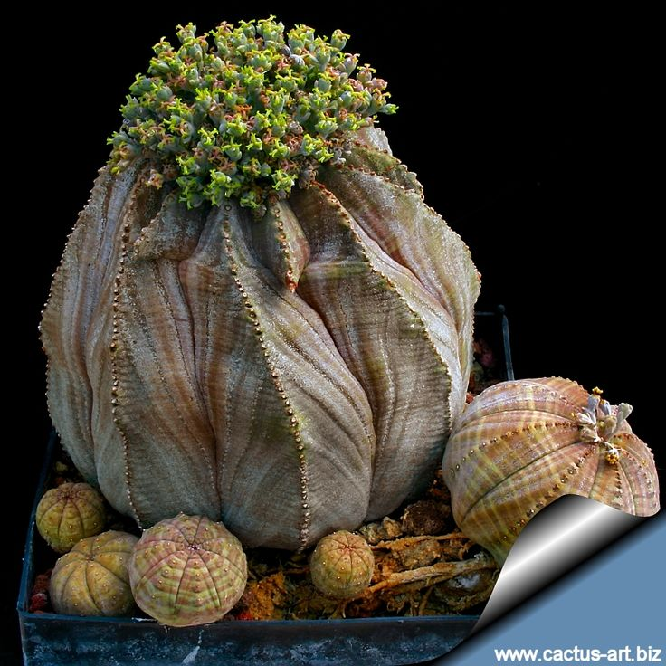Euphorbia obesa is a peculiar ball shaped succulent plant that   resembles a stone but becomes taller with age.