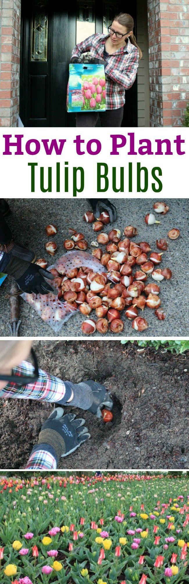 Tulip Tips, How to Plant Tulip Bulbs, Planting Tulips, Planting Bulbs