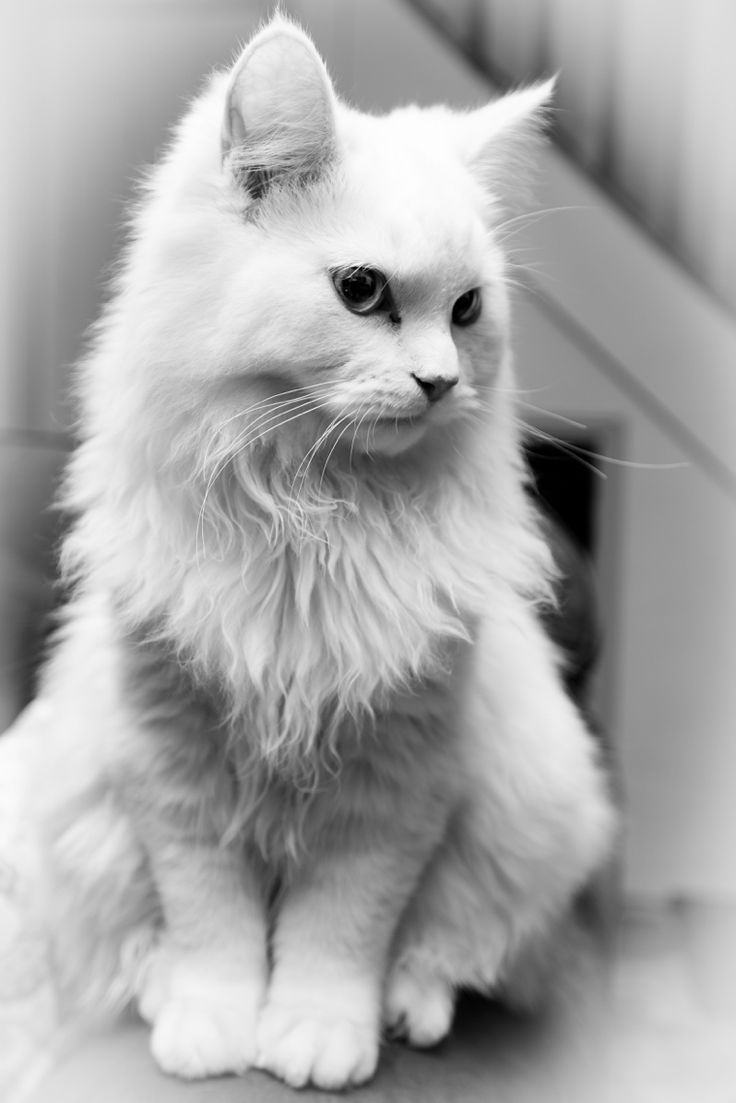 My little dude Marty. #cute #persian #ragdoll