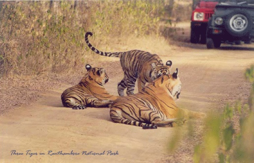 Ranthambore National Park in Rajasthan has a very particular place of all tiger reserves in India in respect of tiger spotting.