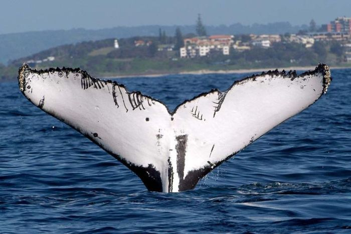 A humpback whale's fluke sticks out of the water