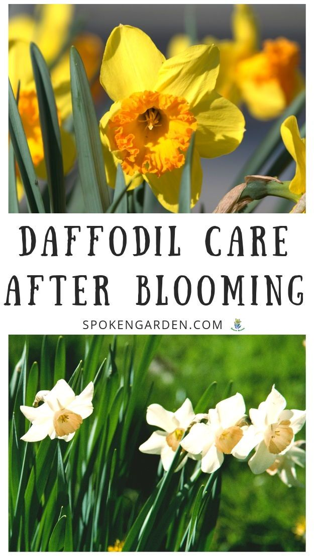 Daffodil Care After Flowering Now What Diy Garden Minute Ep 64 Spoken Garden Daffodils Planting Daffodil Gardening Daffodils