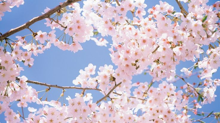Blossoms from Japan
