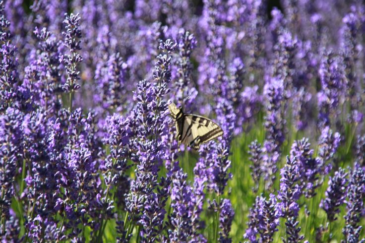 everyone enjoys lavender in bloom...