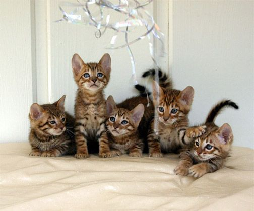 Toygers - Domestic Tiger Cats are a Unique Exotic Breed of Pet