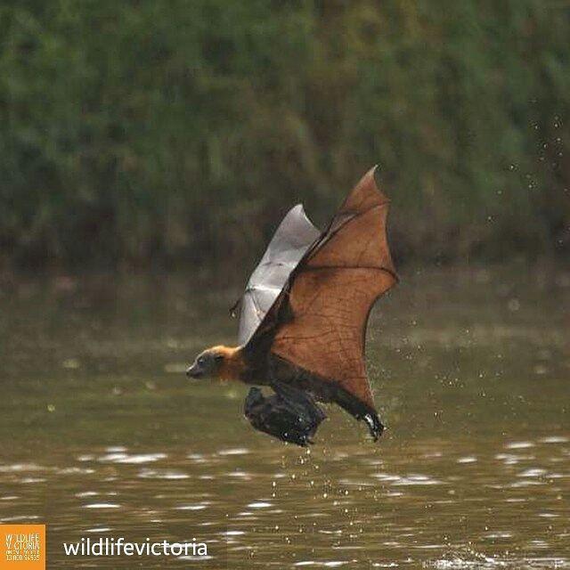 Baby getting bath, Megabat, Flying-fox, Flying Fox, Flying Foxes, Fruit bat, Microbat, wildlife rescue, rehabilitation and education. Bats Rule Australia Queensland