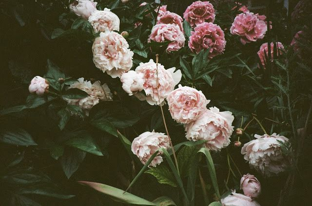 Peonies by Fieldguided / http://blog.fieldguided.com