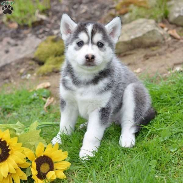Kenya Siberian Husky Puppy For Sale In Ohio Siberianhusky