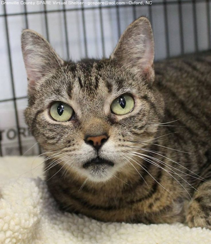 lizardmarsh: Oxford NC: URGENT. Lovely Francesca the Tabby is DEPRESSED after 2 MONTHS in KILL SHELTER. Available for IMMEDIATE 501(C)3 Rescue