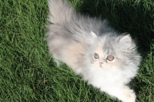 texts persian kittens cat forward calico sold adorable persian kittens ...