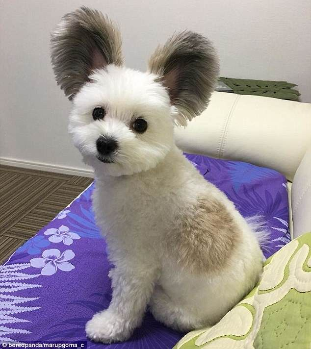 Puppy With Adorable Mickey Mouse Ears Takes The Internet By Storm