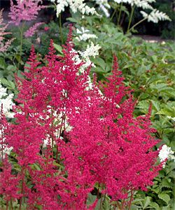 Plants for Shady Gardens: Astilbe. Known best for their colorful flower plumes, many of the newer astilbe varieties also have showy foliage that may be bronze, pale green, blue green, dark green or wine red. If you choose varieties with different foliage colors, bloom times and heights, they can add lots of interesting color and texture throughout the season.