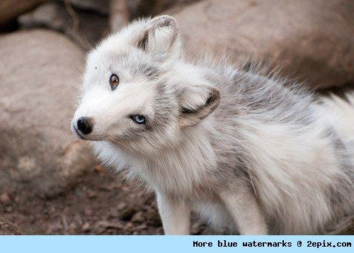 Those eyes.White Foxes, Dogs, Eye Colors, Brown Eye, Beautiful, Blue Eye, Wolves, Arctic Foxes, Animal