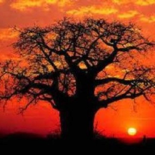 Baobab and African sunset