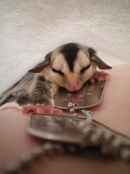 Sleepy sugar glider
