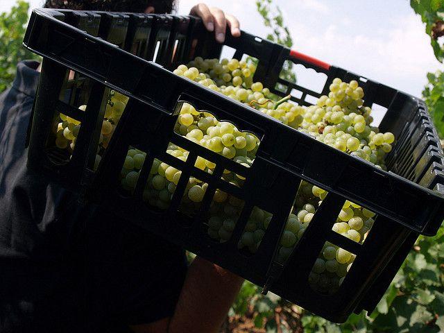 2009 Chardonnay harvest @cantele in Puglia