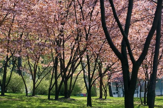 Rusokirsikka, Prunus sargentii  http://www.viherpiha.fi/pensaat-ja-puut/puu-joka-pihalle-koristekirsikka