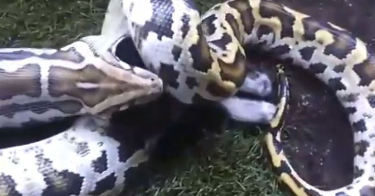 Jovem que alimentou cobra com gato e postou vídeo é investigado no DF