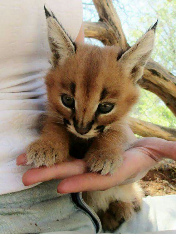 As stated earlier caracals are carnivores that hunt mostly small animals, so basically they should be fed mostly raw meat. They can also be fed with high-quality dry cat food.