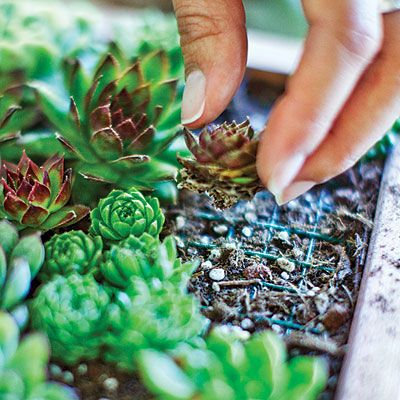 ABC of Succulents: Living Art: Paintings and Vertical Gardens for Succulents - Gardening For Today
