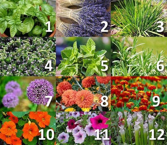 12 Plants That Repel Unwanted Insects: Mosquitoes, Gnats, Ticks and Fleas - http://www.homesteadingfreedom.com/12-plants-that-repel-unwanted-insects-mosquitoes-gnats-ticks-and-fleas/