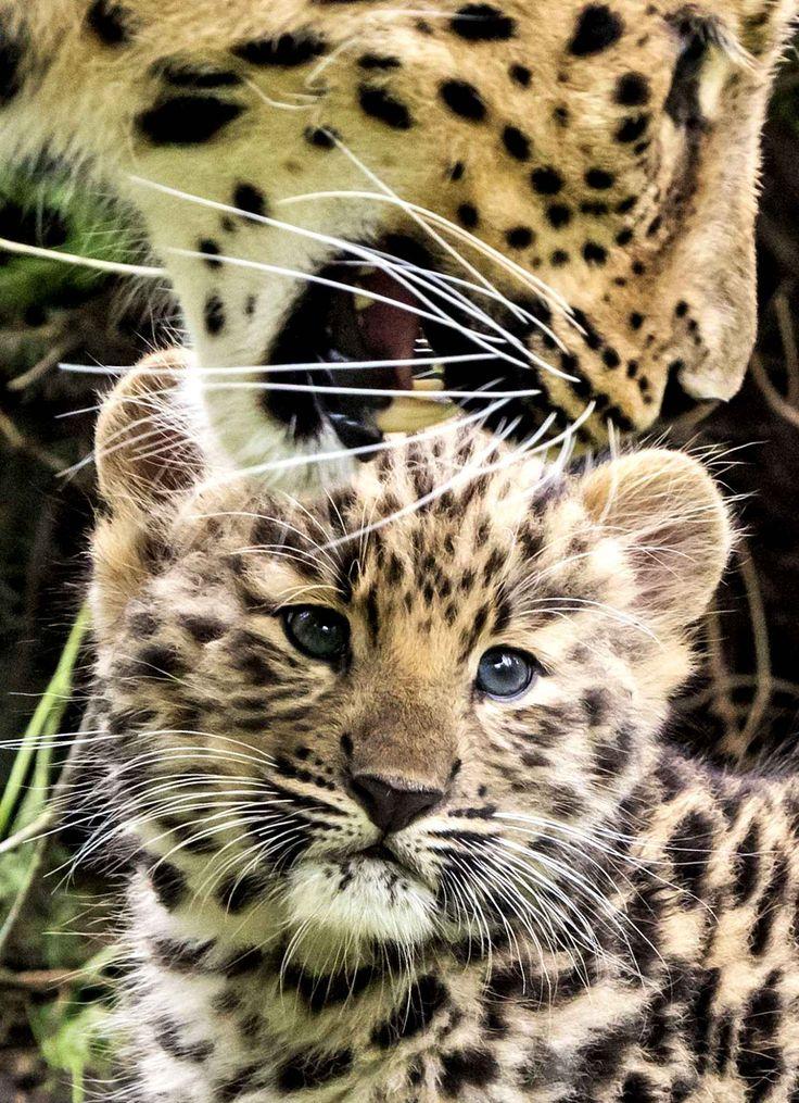 Un petit mâle de l'espèce léopard de l'amour (Panthera pardus orientalis), au zoo de Leipzig, le 27 juin 2017. Il est né le 22 avril. Comme c'est mignon.