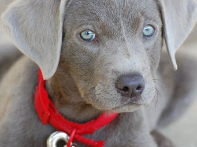 My New Obsession Silver Labs