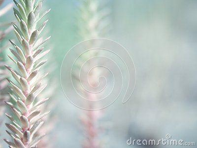 Euphorbia paralias sandy plant isolated background