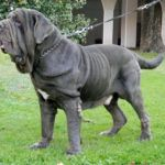 World's Largest Dog Breeds - Neapolitan Mastiff