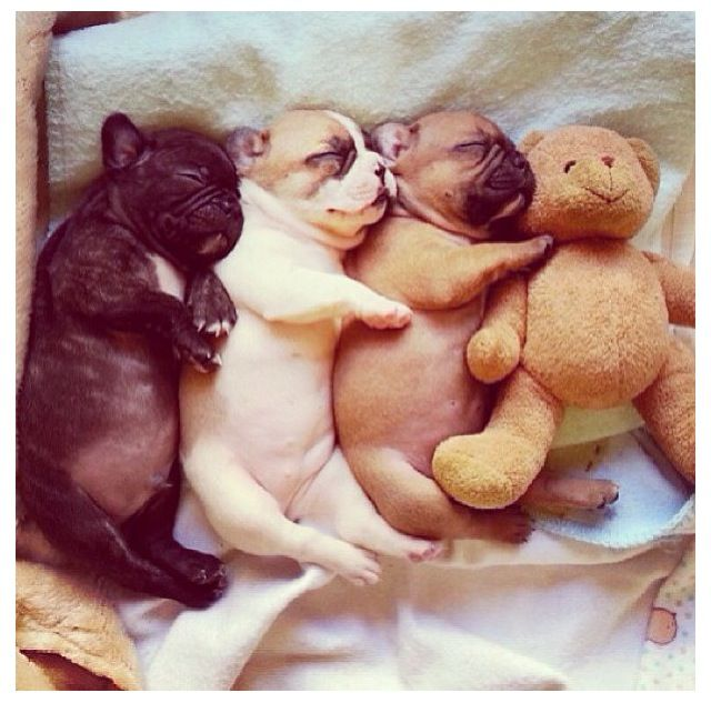 #baby #frenchies there werefour in the bed and the real ones said roll over